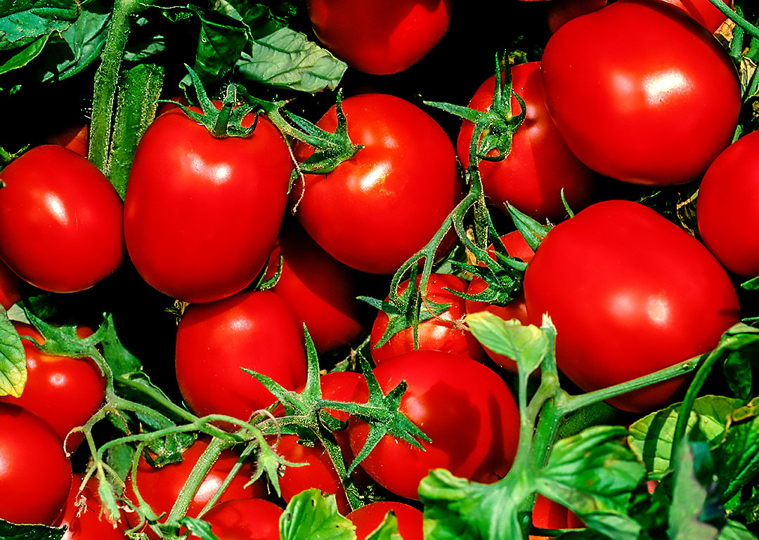 Tomatoes in the Delta, Part 1 of 2