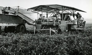 Tomatoes in the Delta, Part 2 of 2