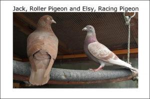 Pigeons – Dirty Birds or Wartime Heroes?